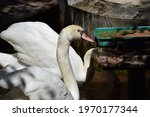 Mute Swan Are Eating Foods On...