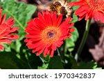 Bright Red Orange Gerbera Daisy ...