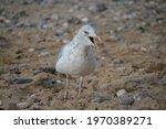 Seagull On A Rocky  Sandy Beach