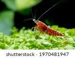 Red galaxy dwarf shrimp stay on green leaf aquatic plant and look over in fresh water aquarium tank.