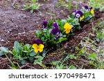 Flowering Purple  Yellow And...