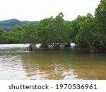 Photograph Of A Cove Mangrove...
