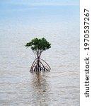 A Small Mangrove In A Cove