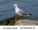 Portrait Of Yellow Legged Gull  ...