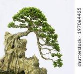 bonsai pine tree against a... | Shutterstock . vector #197064425