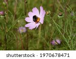 Pink Cosmos Bipinnatus Flowers...