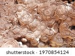 Petrified Fossil Stromatolite ...