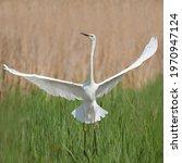 Beautiful Great White Egret  ...