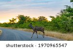 Kudu Cow Crossing The Road At...