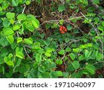 Single Red Bauhinia Flower On...