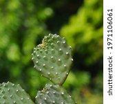 Opuntia Cochenillifera  Green...