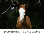 Small photo of Bald face foal horse shows colt on dark blurred background in outdoor farm portrait with copy space.