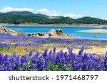 Wildflower Lupines Super Bloom...