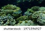 Assasi Triggerfish Or Arabian...