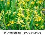 Wildflower Of Yellow Star Of...