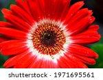 Red Gerbera Flower Closeup....