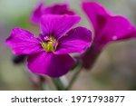 Purple Pink Spring Bloomer...