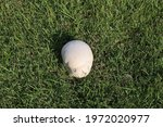 Common Earthball Fungi ...