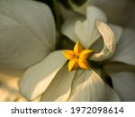 The Yellow Star Flower In Dona...