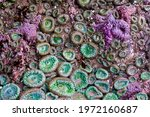 Purple Starfish And Anemones On ...