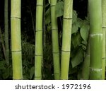 A group of bamboo trees up-close. - stock photo