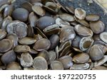 Small photo of Siris, Kokko, Indian Walnut,Albizia,Zeek(Thai) (Albizia Lebbeck) (L.) Benth.(Seeds)