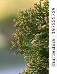 Small photo of Swelled buds on American Arborvitae