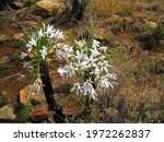 White Flowering Black Stick...