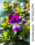 Blossom Violet Pansy Flower In...