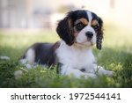 Tricolor Cavalier King Charles...