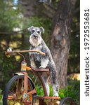 Small photo of Portrait of schnauzer dog standing on antique tricycle. A salt and pepper bearded well trained dog on vintage trike.