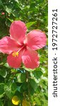 Hawaiian Hibiscus Also Known As ...