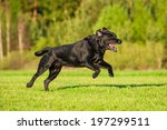 Black Labrador Running