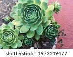 Close Up Of Beautiful Succulent ...