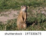 European Ground Squirrel ...