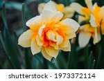 Varietal Double Flower Daffodil ...