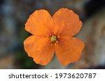 Orange Color Forest Poppy...