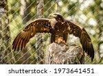 Juvenile Bald Eagle In Captivity