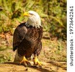 Captive American Bald Eagle...