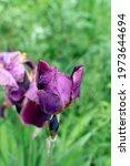 Beautiful Burgundy Iris Flowers ...
