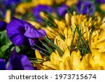 Beautiful yellow crocus and...