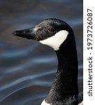 Canada Goose. This Closeup...
