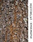 Pine Skin Tree Texture Fo...