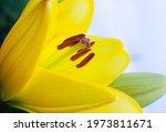 Beautiful Yellow Lily Close Up  ...