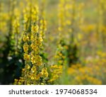 Inflorescence Of Yellow Meadow...