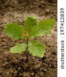 english  pedunculate  oak tree...   Shutterstock . vector #197412839