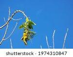 Yellow Masked Weaver Male Bird...