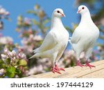 Two White Pigeon On Flowering...