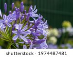 Agapanthus Lily  Lily Of The...