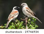 Pair Of Pretty Cape Sparrows...